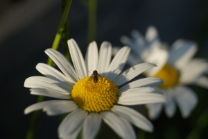 daisy and insect